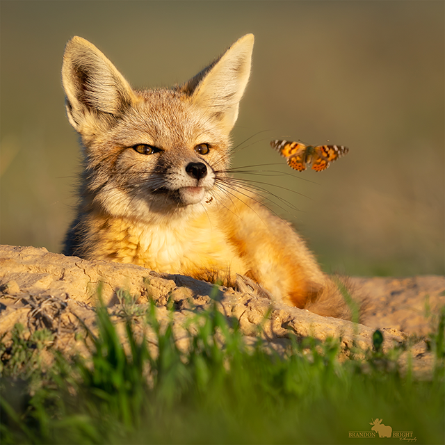 fox watching butterfly with ant on chin by Brandon Bright
