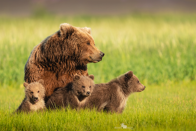 Mother bear and cubs in Alaska by Brandon Bright