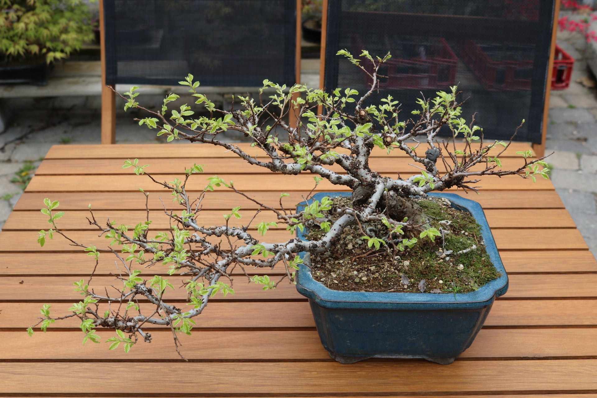 Chinese Elm - Semi-cascade style