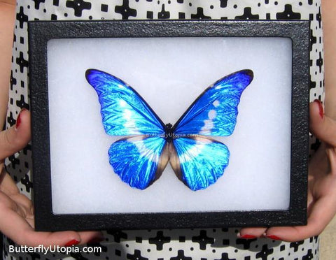 Blue Helena Butterfly Best Quality
