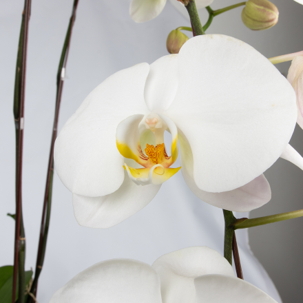 Raya Phalaenopsis Orchid (Three Stalks)