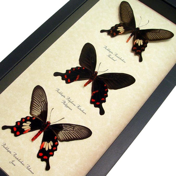 Black & Red Swallowtail Collection