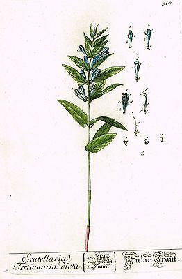 "Blackwell's Wild Flower - ""SCUTELLARIA"" - Hand-Col. Copper Engraving - 1737"