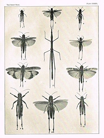 Howard's The Insect Book - GRASSHOPPERS & LOCUSTS - PLATE XXXVI - Lithograph - 1902