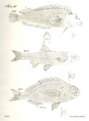 """3 FISH""  by de Kay - 1842 - Zoology of New York"