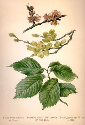 """COMMON ELM FLOWERS & FRUIT"" by Boulger - c1898 -Chromo"