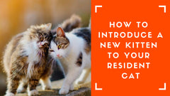 How to introduce a new kitten to your resident cat
