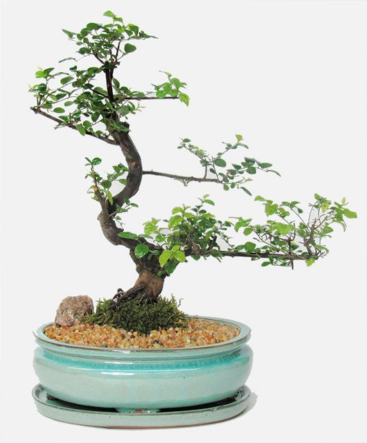 This tropical beauty is one of the most popular of the indoor tropical bonsai. Imported from southern China it has very small leaves and produces a pinkish or whitish flower.