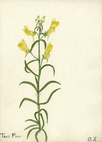 Yellow Toad Flax Flower - Original early 20th-century watercolour painting