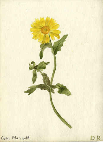 Golden Corn Marigold - Original early 20th-century watercolour painting