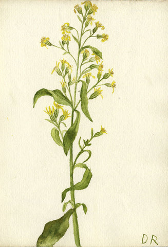 Goldenrod Flower - Original early 20th-century watercolour painting