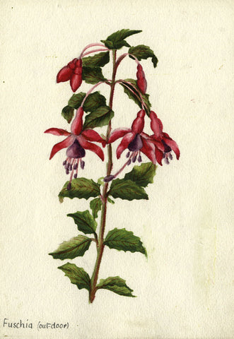 Flowering Fuchsia Bloom - Original early 20th-century watercolour painting