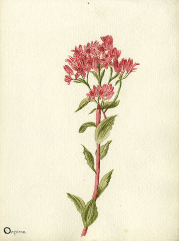 Orpine Flower - Original early 20th-century watercolour painting