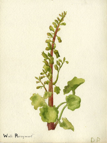 Wall Pennywort Flower - Original early 20th-century watercolour painting