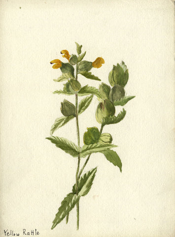 Yellow Rattle Grass - Original early 20th-century watercolour painting