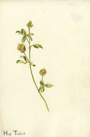 Hop Trefoil Clover Flower - Original early 20th-century watercolour painting