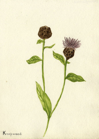 Purple Knapweed Flower - Original early 20th-century watercolour painting
