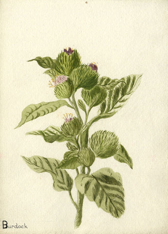 Verdant Burdock Buds - Original early 20th-century watercolour painting