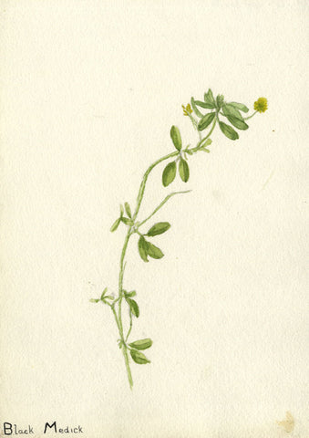 Black Medick, Medicago Flower - Original early 20th-century watercolour painting