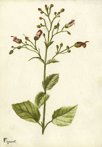 Figwort Flower Cluster  - Original early 20th-century watercolour painting