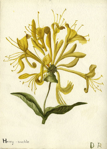 Radiating Honeysuckle Bud - Original early 20th-century watercolour painting