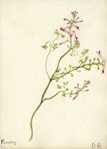 "Fumitory: ""Smoke of the Earth""' Flower - Early 20th-century watercolour painting"