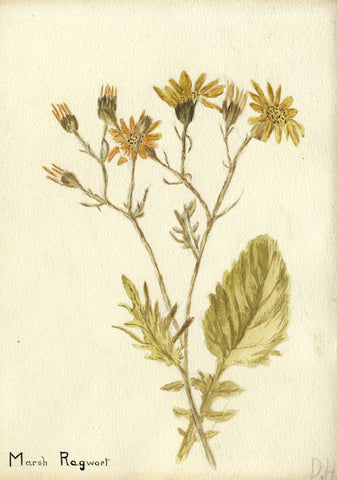 Marsh Ragwort Florets - Original early 20th-century watercolour painting