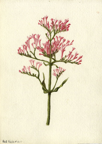"Red Valerian ""Devil's Beard"" Flower - Early 20th-century watercolour painting"