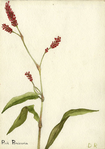 Pink Persicaria, Japanese Knotweed - Early 20th-century watercolour painting