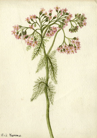 Rosy Yarrow Blossom - Original early 20th-century watercolour painting