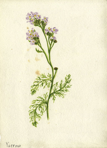 Lilac Yarrow Blossom - Original early 20th-century watercolour painting