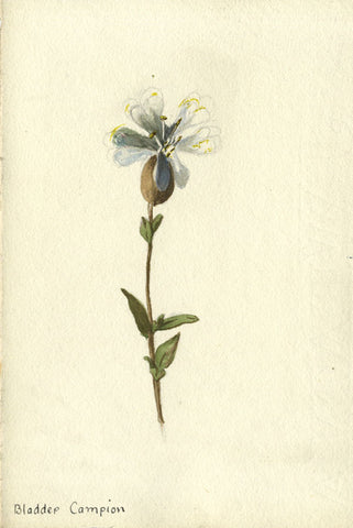 Star Bladder Campion Flower - Original early 20th-century watercolour painting