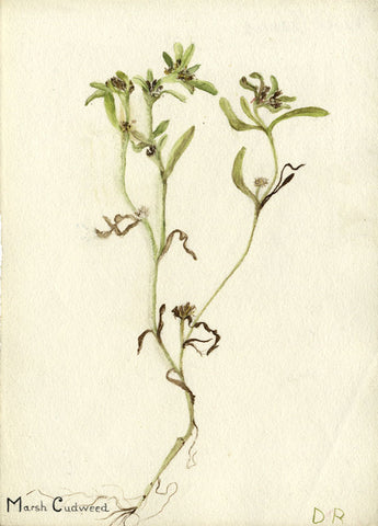 Violet Marsh Cudweed Flower - Original early 20th-century watercolour painting
