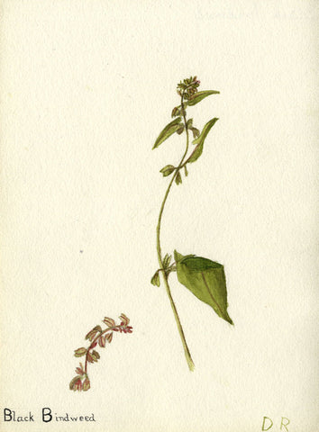 Black Bindweed Buckwheat - Original early 20th-century watercolour painting