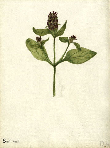 Herbaceous Self-Heal - Original early 20th-century watercolour painting