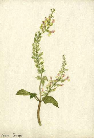 Woodland Sage Stem - Original early 20th-century watercolour painting
