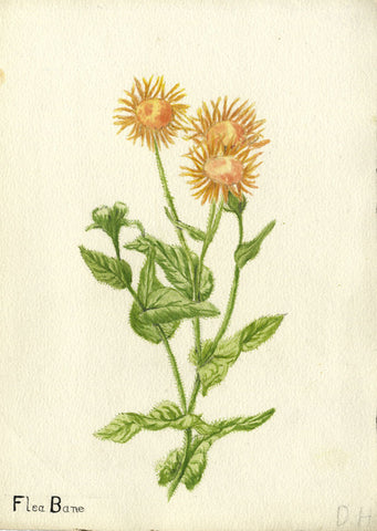 Flea Bane, Ragwort Blossom - Original early 20th-century watercolour painting