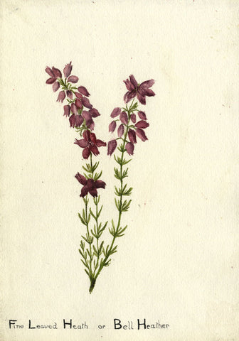Amethyst Bell Heather - Original early 20th-century watercolour painting