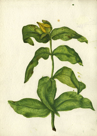 Yellow Flower in Bud - Original early 20th-century watercolour painting