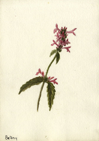 Betony, the Hedgenettle Bloom - Original early 20th-century watercolour painting