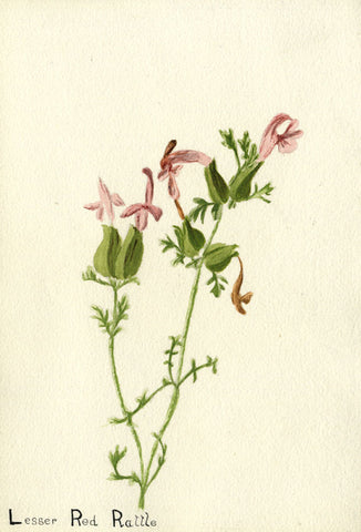 Lesser, or 'Dwarf' Red Rattle Stem - Early 20th-century watercolour painting