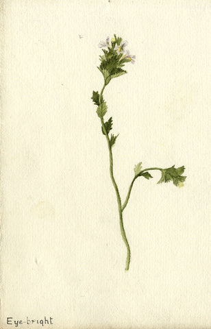 Purple Eyebright Sprig - Original early 20th-century watercolour painting
