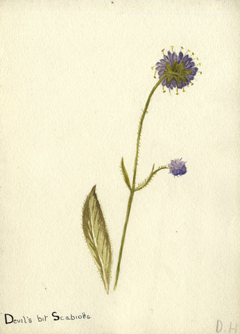 Devil's Bit Scabious, Honeysuckle - Early 20th-century watercolour painting