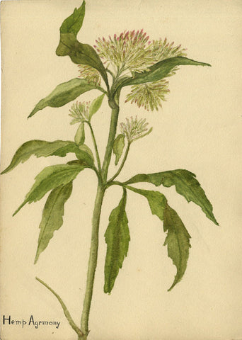 Hemp Agrimony Stem - Original early 20th-century watercolour painting