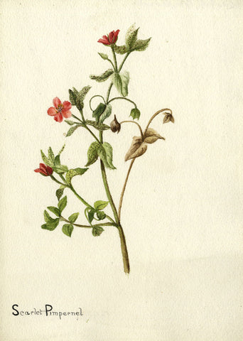 Scarlet Pimpernel Weed - Original early 20th-century watercolour painting
