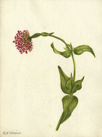 Red Valerian in Curve - Original early 20th-century watercolour painting
