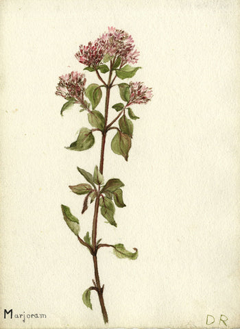 Purple Marjoram Flower - Original mid-20th-century watercolour painting