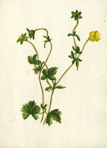 Leafy Yellow Tormentil - Original early 20th-century watercolour painting