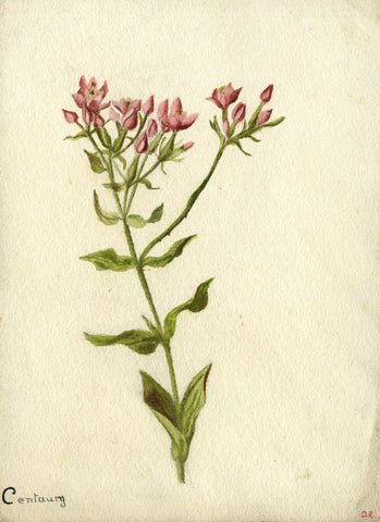 Sprouting Centaury Branch - Original 19th-century watercolour painting