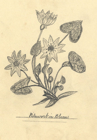 J.E. Jeffreys, Pilewort Flower in Bloom - Original late 19th-century graphite drawing